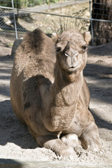 camel one hump