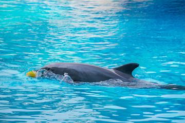 Fototapeta Riccione , Włochy - 18 maja 2018: Delfin w Oltremare Family Experience Park w słoneczny dzień