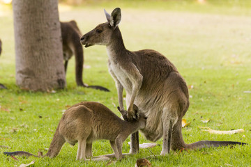 kangaroo feeding breeding
