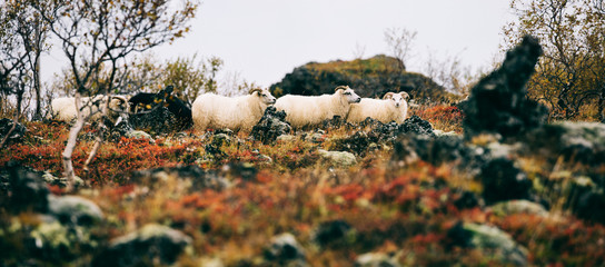 Icelandic Sheep in Colorful Volcanic Landscape