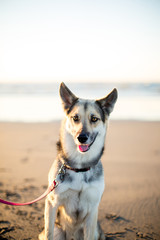 Mixed Breed Dog Sitting and Smiling on Beach