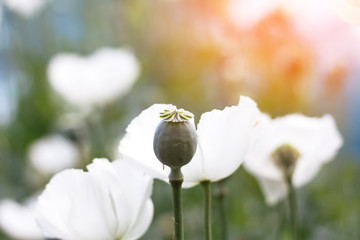 Valuable opium flower and poppy seeds