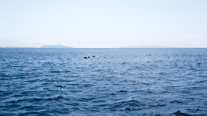 Playful dolphins swimming in  ocean waters near Channel Islands, Southern California