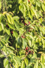 Glossy fruit cherries on a tree - Filled over a filter.