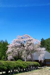 南泉寺の平七桜(福島県・南会津町)