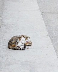 Calico cat laying on her back with tongue out on concrete pavement
