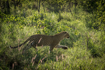 Leopard hunting in the early morning hours.