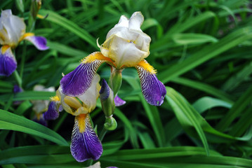 Purple, white and yellow iris flower blooming, blurry green leaves background
