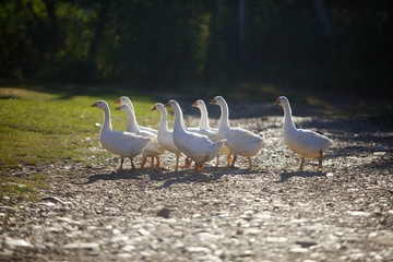 Geese white go on the road