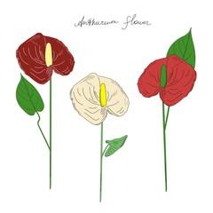 Three Anthurium flowers of different colors. Beautiful exotic plants. Line art. (Araceae).