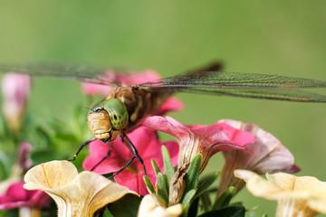 Keilflecklibelle, Keilfleck-Mosaikjungfer, Libelle grüne Augen