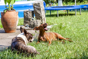 Miniature pinscher playing with pug dog on the green