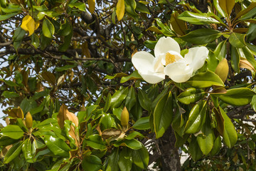 A blossoming white magnolia flower close-up against a background of green leaves