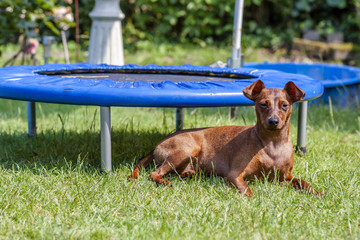 Portrait of beautiful miniature pinscher sitting on the green