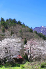 小塩の桜(福島県・南会津町)