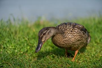 The Duck at wonderful lake.