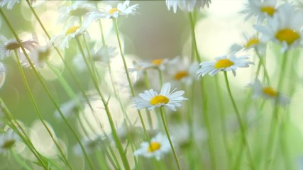 Klistermärke - Chamomile flowers field closeup with sun flares. Daisy flowers. Beautiful nature scene with blooming medical chamomilles in sun flare. Camomille background. 4K UHD video 3840X2160