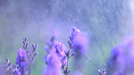 Fotoväggar - Lavender. Blooming violet fragrant lavender flowers on a field with rain drops, closeup. Background of growing lavender swaying on wind, harvest. Slow motion 4K UHD video 3840x2160