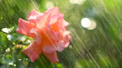 Fotoväggar - Beautiful rose with rain drops. Beauty fresh pink with orange color rose flower growing in summer garden and blooming. Watering plants, rain, raindrops on petals. Slow motion 4K UHD video 3840X2160