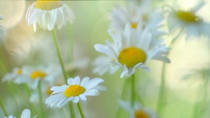 Klistermärke - Chamomile flowers field closeup with sun flares. Daisy flowers. Beautiful nature scene with blooming medical chamomilles in sun flare. Camomille background. Slow motion 4K UHD video 3840X2160