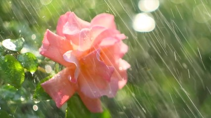 Fotoväggar - Beautiful rose with rain drops. Beauty fresh pink with orange color rose flower growing in summer garden and blooming. Watering plants, rain, raindrops on petals. 4K UHD video slow motion