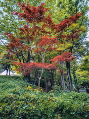 Maple tree with red leaves in a park