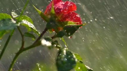 Fotoväggar - Beautiful red rose with rain drops. Beauty fresh red rose flower growing in summer garden and blooming. Watering plants, rain, raindrops on petals. Slow motion. 4K UHD video 3840X2160