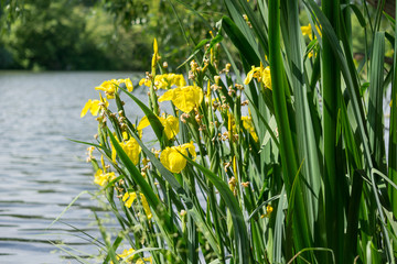 yellow marsh iris (iris pseudacorus), water-iris