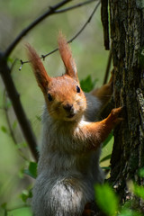A beautiful squirrel sitting on a tree branch in a spring forest. Close-up of a rodent.