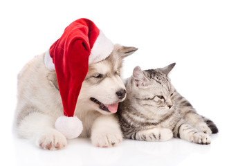 Alaskan malamute puppy in red christmas hat lying with tabby cat . isolated on white background