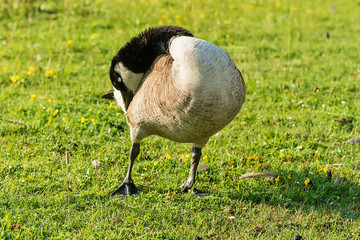 Adult Goose in green grass.