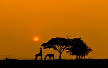 Silhouette two giraffes eating leaves at sunset.
