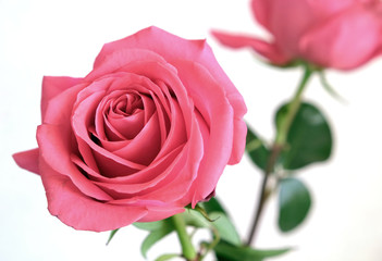 Gentle pink rose flower on green stem isolated on white background closeup view