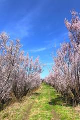 花木団地の桜(福島県・郡山市)