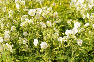 Geranium phaeum white flowers with green foliage