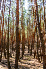 Rows of the tall pine trees in a forest on spring