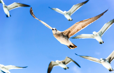 Seagull flock in blue sky