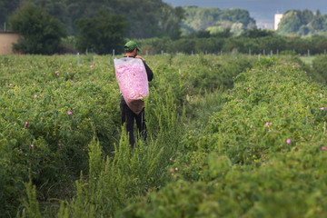 People carrying the picked from them fresh pink roses  in big transparent  sacks in the rose garden. The roses (Rosa damascena, Damask rose) are used for perfumes and rose oil. Agricultural concept.