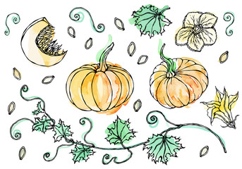Watercolour Vegetable Pumpkin. Plant with Leaves, Flower and Seeds. Realistic Hand Drawn Illustration. Savoyar Doodle Style.