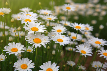 White daisy flowers . Summer background.