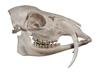 Skull of a Siberian musk deer (Moschus moschiferus)