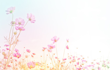 Wall Mural - Pink cosmos flower