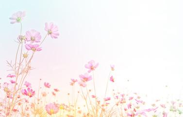 Fototapete - Pink cosmos flower