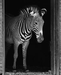 Wall Murals Zebra Zebra in doorway
