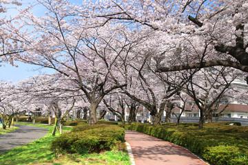 開成山公園の桜(福島県・郡山市)