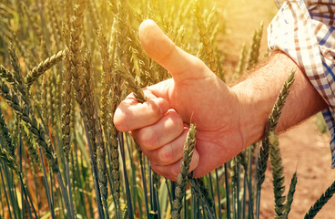 Satisfied farmer gesturing thumbs up after examining spelt wheat