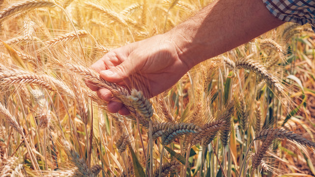 Farmer agronomist touching cultivated green wheat plants in field