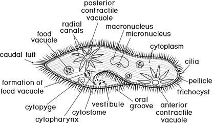 Coloring page. Structure of Paramecium caudatum with titles