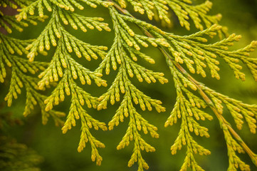 Thuja, cedar branch and leaves, green fresh background