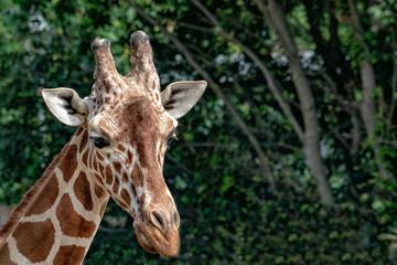 Tanzania giraffe close up portrait